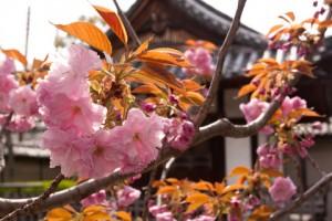 cherry-blossom-300x200