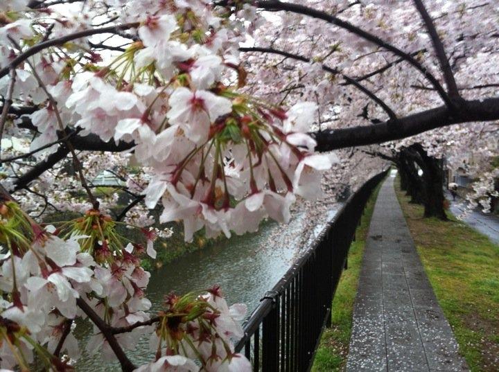 kyoto-sakura